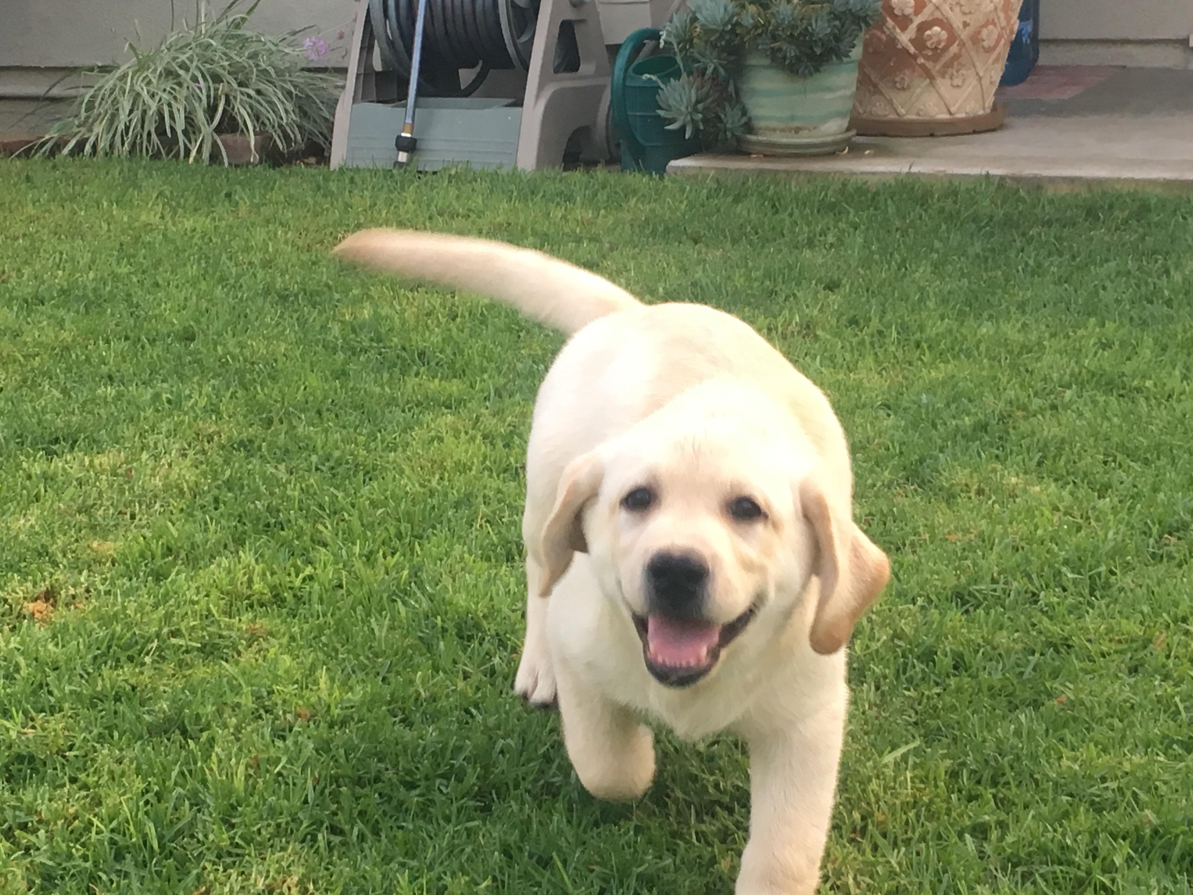 Harlow's Labrador Retrievers - Welcome